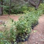 Фиданки от бяла елша за засаждане